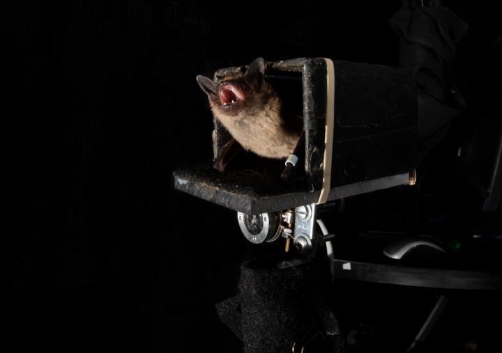 """Morcegos conseguem """"prever"""" o futuro para encontrar alimento (Foto: Morcegos conseguem """"prever"""" o futuro para encontrar alimento)"""