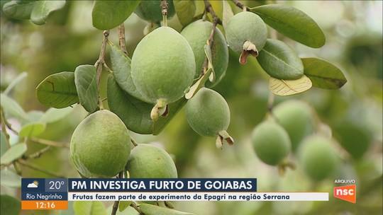Considerada 'planta do futuro', goiaba-serrana tem sido alvo de furtos em estação de pesquisa de SC