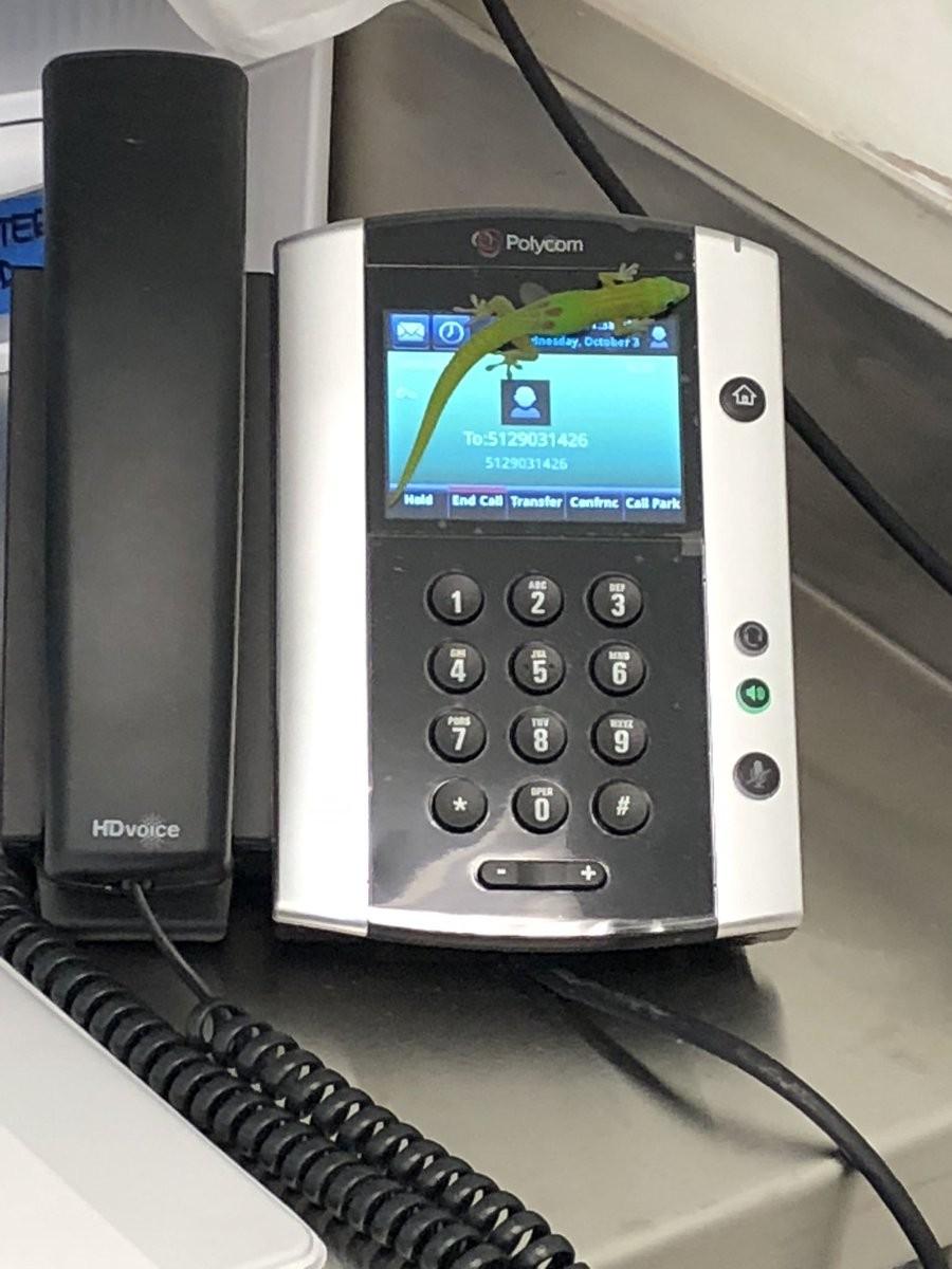 Lagartixa causou ligações sem querer por encostar no touch do telefone (Foto: Claire Simeone/Reprodução)