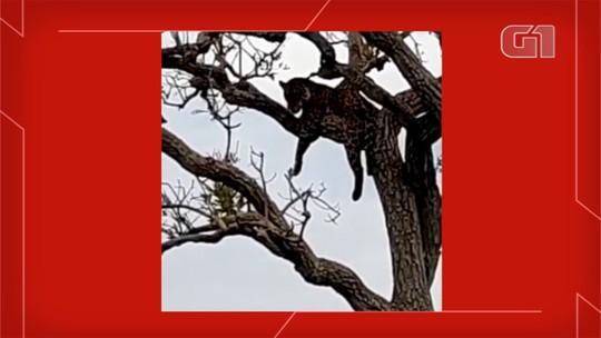 Em pescaria no pantanal, amigos filmam onça pintada descansando em galho de árvore