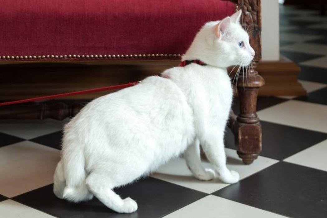 Gato Aquiles no museu Hermitage (Foto: Prefeitura de São Petesburgo/Divulgação)
