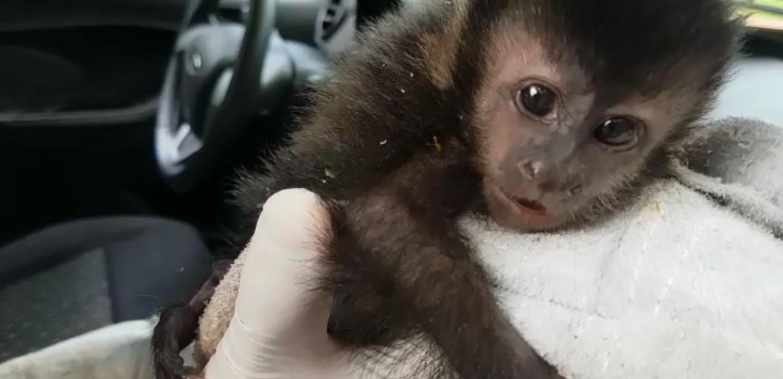 Filhote de macaco-prego é resgatado após ser encontrado abraçado com mãe atropelada, em Cascavel