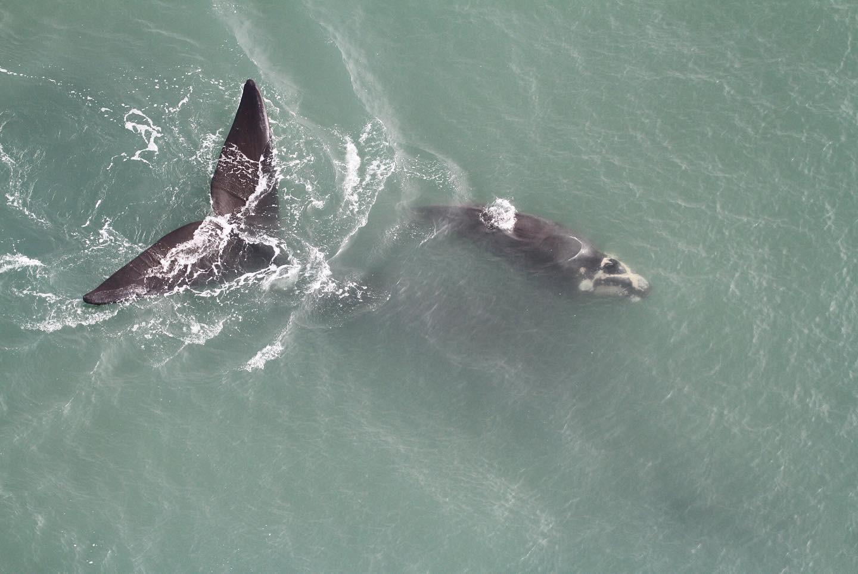 Crescimento populacional, redes de pesca ilegais e reprodução: entenda sobre a temporada de baleias em SC