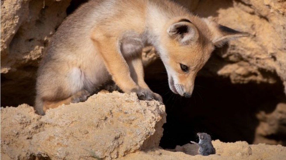Um rato deve tomar cuidado ao encarar uma raposa, como essa em Israel — Foto: AYALA FISHAIMER/COMEDY WILDLIFE PHOTOGRAPHY AWARD via BBC