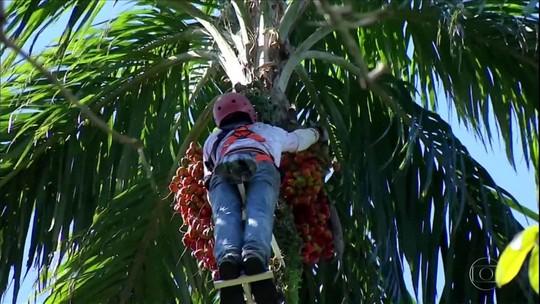 Agricultores do sul do Rio de Janeiro apostam no cultivo da pupunha