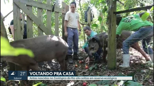 Casal de antas nascidas no zoológico do Rio são soltas a habitat natural