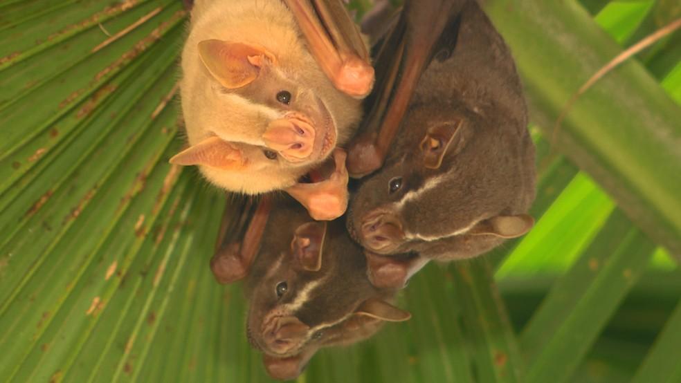 Morcegos em Campinas (SP) — Foto: Vanderlei Duarte/ TG