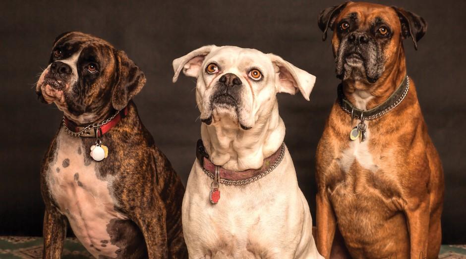 animais, pets, cachorros (Foto: Reprodução/Pexels)