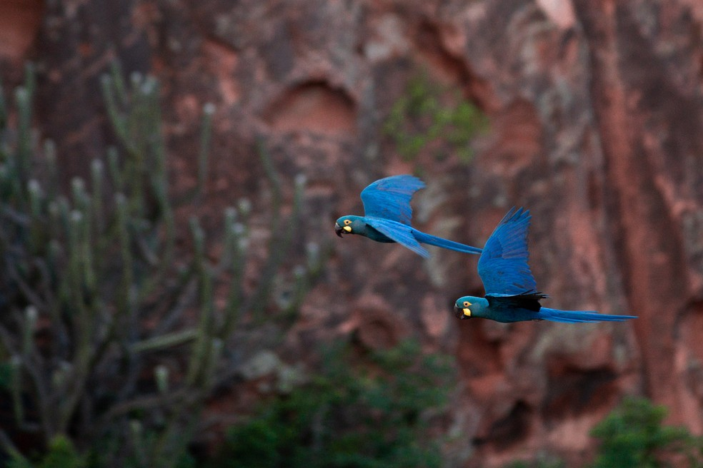 Arara-azul-de-lear voa em busca do licuri na região do Raso da Catarina, no sertão da Bahia. Espécie é uma das ameaçadas de extinção no Brasil. — Foto: Marcelo Brandt/G1