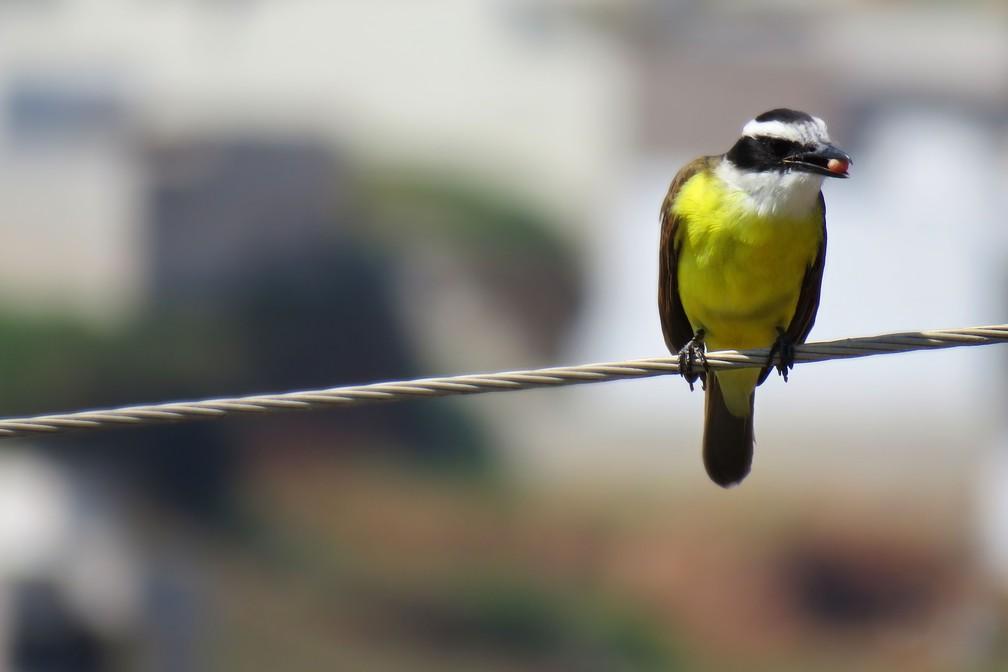 Bem-te-vi é ave que ocorre no campo e na cidade (Foto: Maria Izabel Mosini/VC no TG)
