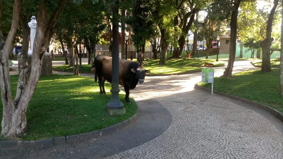 Boi é flagrado em 'passeio' pelo Centro de Ponta Grossa e chama atenção de moradores — Foto: Marcelo Gonzalez/Arquivo pessoal