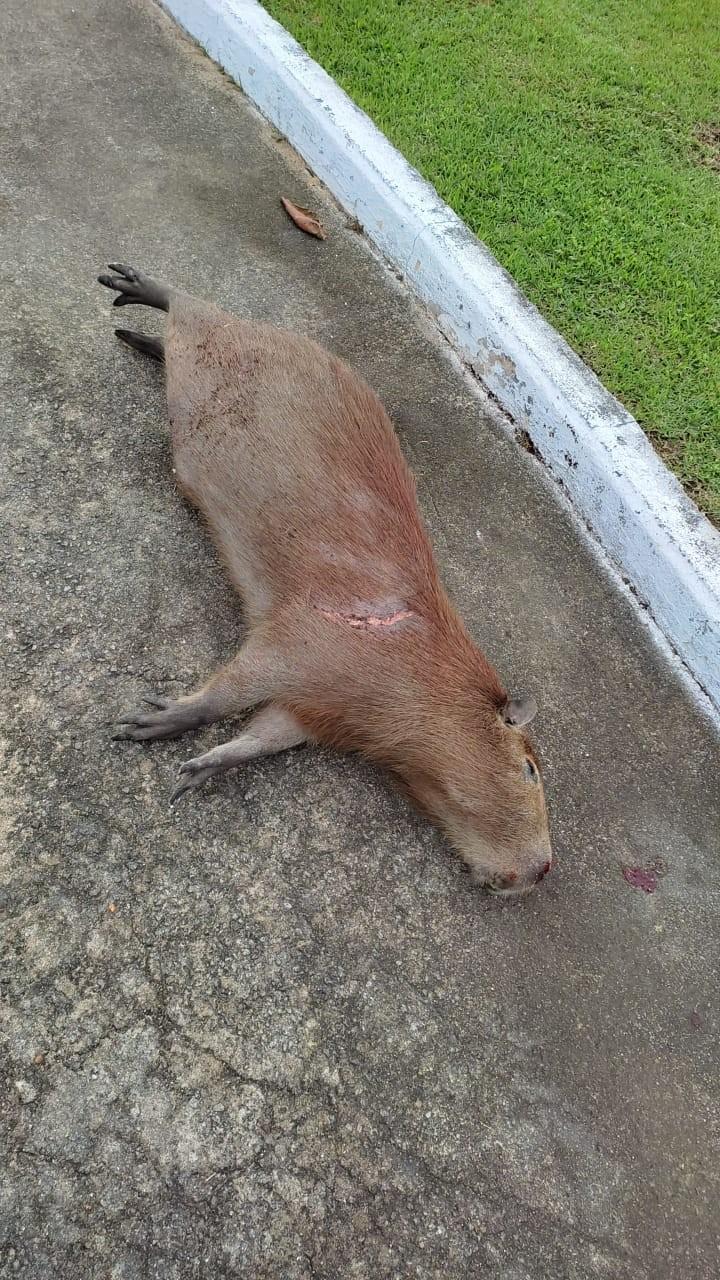 Capivara morre após ser atropelada em Vitória