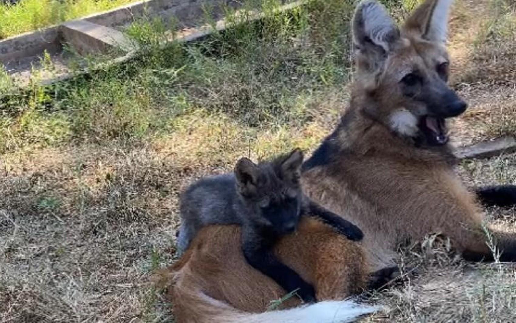 Ameaçada de extinção, lobo-guará dá à luz quatro filhotes no Zoológico de Goiânia