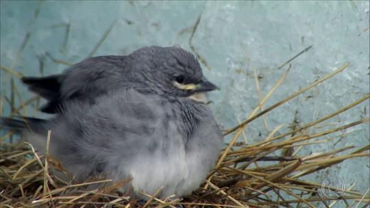 Pássaro da geleira é o único a construir seu ninho a mais de 5 mil metros de altura