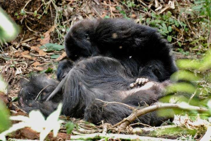 Um gorila-das-montanhas  jovem inspeciona o corpo de sua mãe que morreu por horas. Ela morreu no Parque Nacional dos Vulcões de Ruanda  (Foto: ian Fossey Gorilla Fund International (gorillafund.org) / Creative Commons )