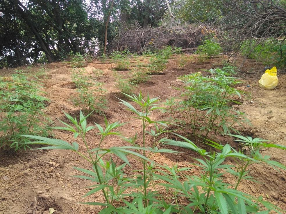 A droga estava sendo plantada na Ilha da Coroa (Foto: Divulgação / PM)