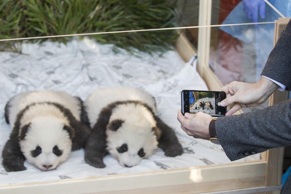 """Os dois filhotes de panda gigante """"Meng Yuan"""" (esq.) e """"Meng Xiang"""" são apresentados à imprensa depois de terem sido batizados no zoológico de Berlim, em 9 de dezembro de 2019. — Foto: Odd Andersen/AFP"""