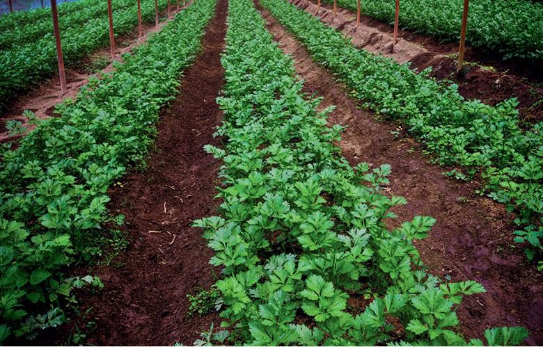 Como plantar coentro (Foto: Getty images)