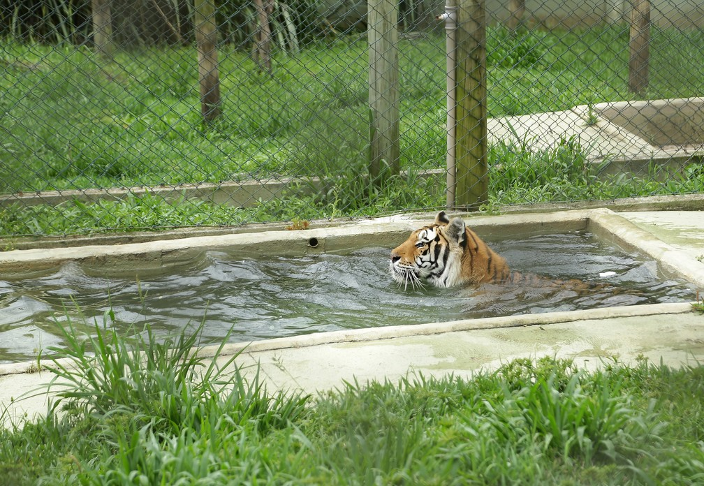 Tigre Tom aproveita a piscina do recinto para se refrescar no calor intenso da capital  — Foto: Giuliano Gomes/PR Press