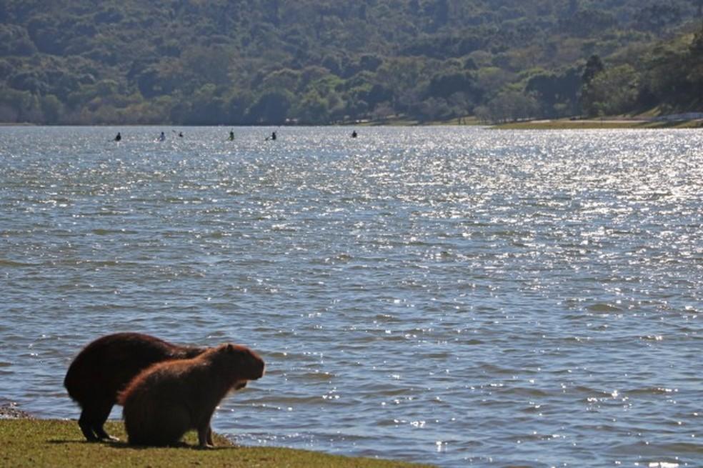 Capivaras vivem na região do parque — Foto: Prefeitura de Cascavel/Divulgação