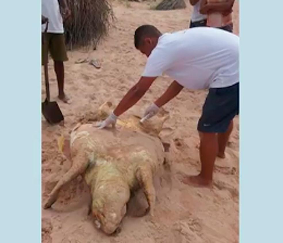 Tartarga encontrada morta em Guarajuba, orla de Camaçari (Foto: Reprodução/ TV Bahia)