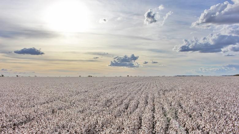 algodão-Bahia (Foto: Dvivulgação/Abapa)