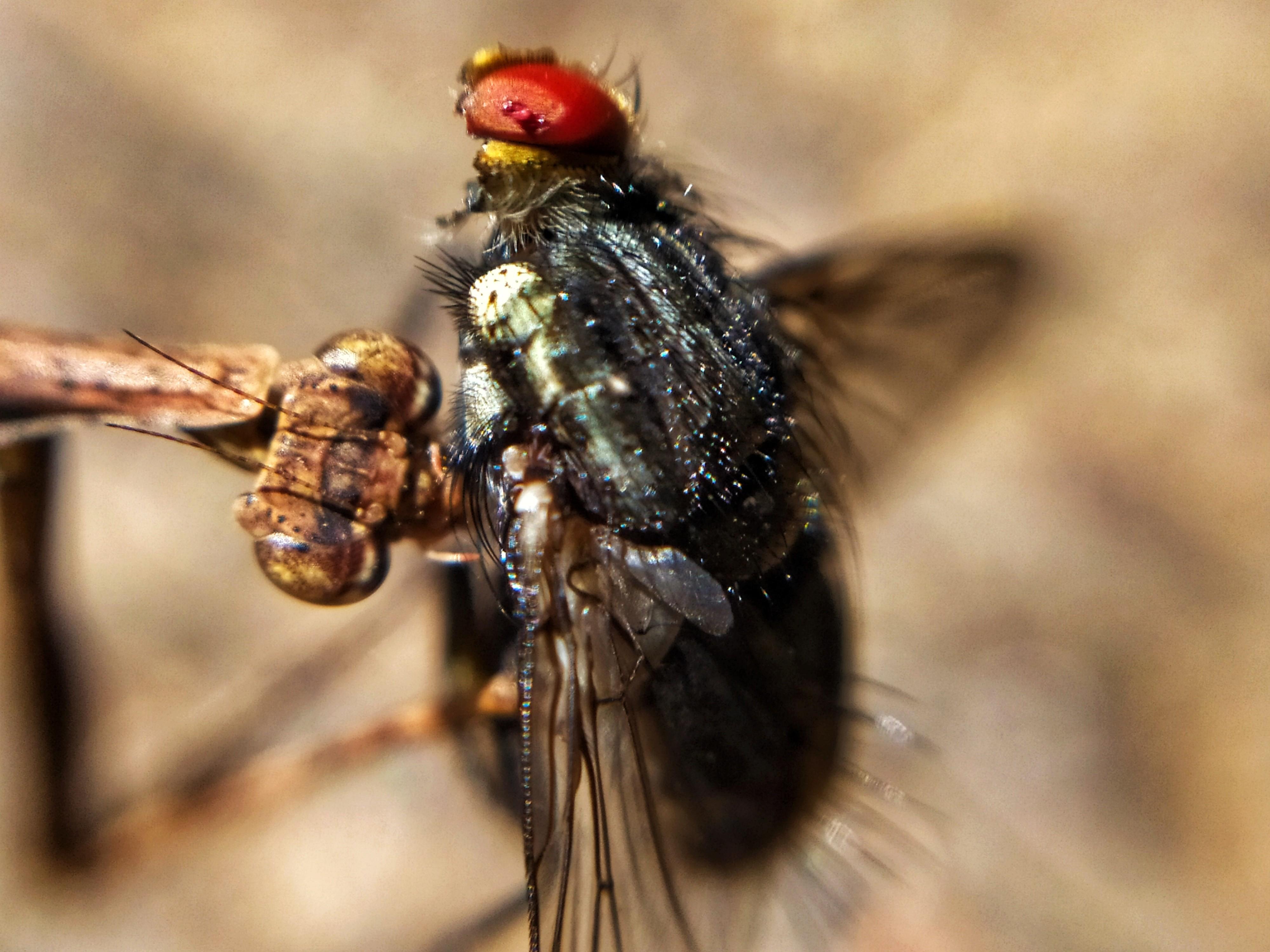 Louva-a-deus devora mosca e turismólogo filma ação em detalhes; veja o vídeo