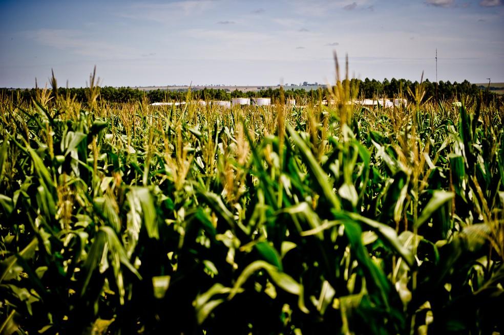 Área plantada de milho aumentou, embora a produtividade tenha caído por causa das poucas chuvas — Foto: Mayke Toscano/ Gcom-MT