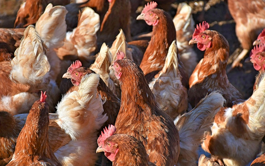 De acordo com o diretor da fazenda-escola onde ocorreu o incidente, galinhas podem facilmente atacar invasores mais fracos — Foto: RitaE/Creative Commons