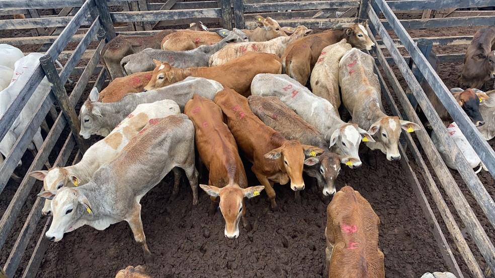 Cabeças de gado roubadas em Itatinga (SP) e encontradas pela Polícia Civil são avaliadas em mais de R$ 1 milhão — Foto: Polícia Civil/ Divulgação