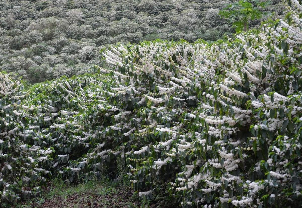 Período da florada do café começa em Varre-Sai, no RJ