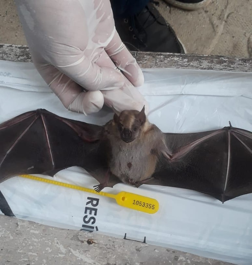 Morcegos podem transmitir Raiva para animais domésticos, segundo Centro de Controle de Zoonoses de Natal — Foto: CCZ Natal/Divulgação