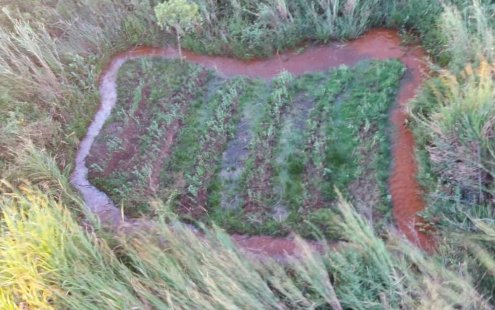 Plantação de maconha escondida em mata de Goiânia (Foto: Divulgação/Polícia Civil)