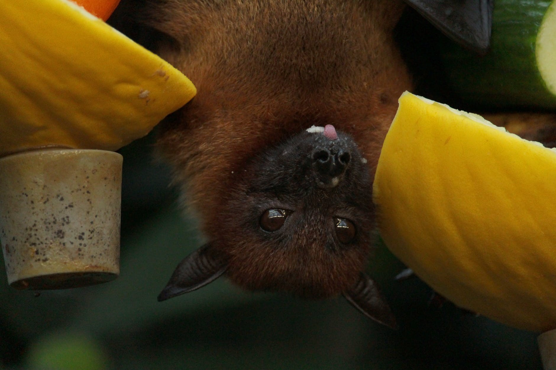 Vários estudos tentam explicar porque o organismo do morcego é mais resistente aos vírus do que o organismo humano (Foto: Miri / Pexels)