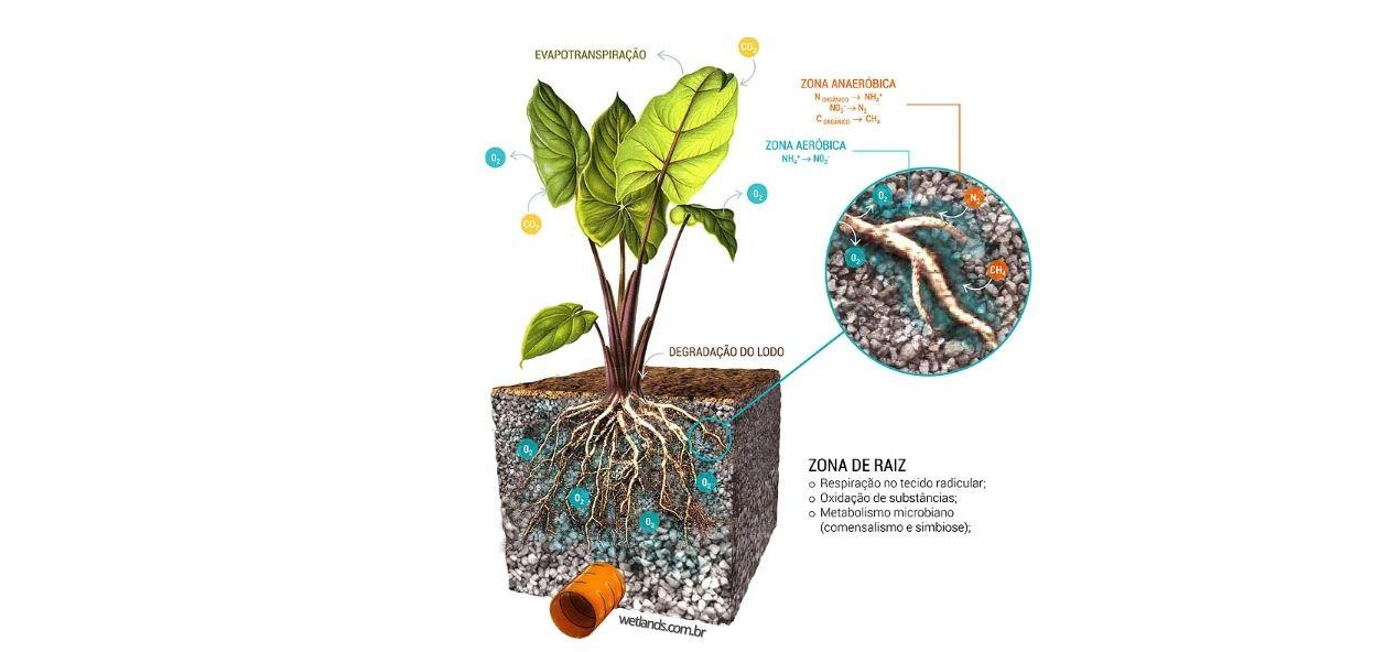 Como plantas limpam a água. (Foto: Wetlands.com)