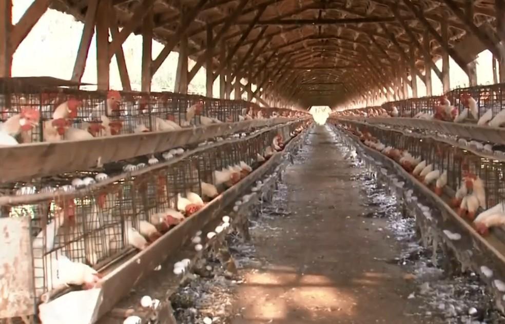 Bastos tem a maior produção de ovos do estado de SP — Foto: TV TEM/Reprodução