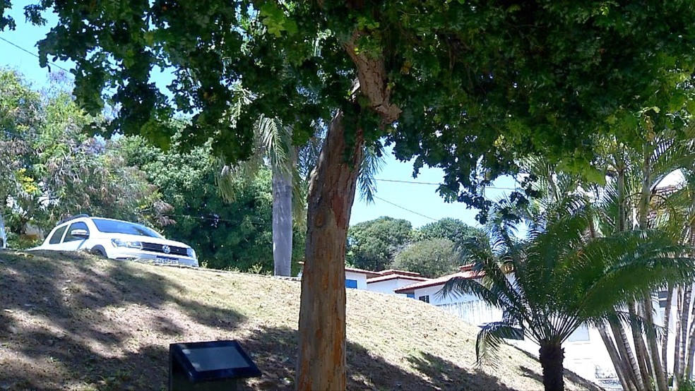 Árvore pau-brasil plantada pelo papa João Paulo II durante sua passagem por Natal, em 1991. — Foto: Cleildo Azevedo/Inter TV Cabugi