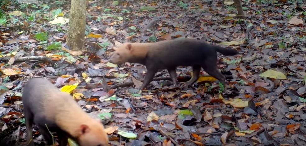 Cachorro vinagre é o único canídeo brasileiro que vive e caça cooperativamente — Foto: Reprodução/WWF Brasil
