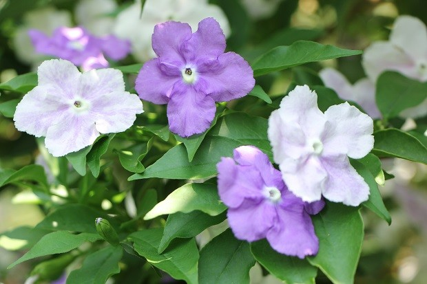 Closeup of  Brunfelsia uniflora  flower (Foto: Getty Images/iStockphoto)
