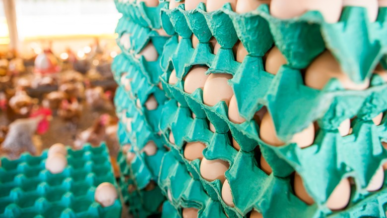 ovo-ovos-ave-galinha-frango (Foto: Globo Rural)