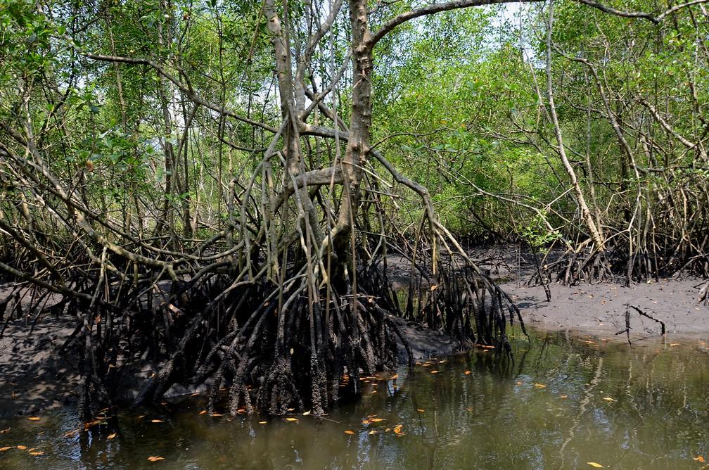 Dia Mundial de Proteção aos Manguezais reforça a importância deste  ecossistema | Especiais | G1