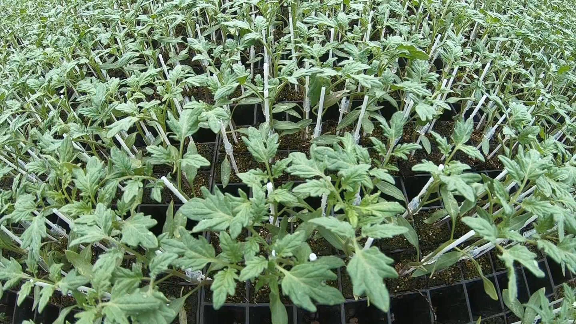 Qualidade das mudas pode fazer grande diferença na plantação - Notícias - Plantão Diário