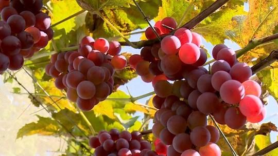 Agricultores apostam na produção de uvas apesar do clima quente de Aracruz, ES
