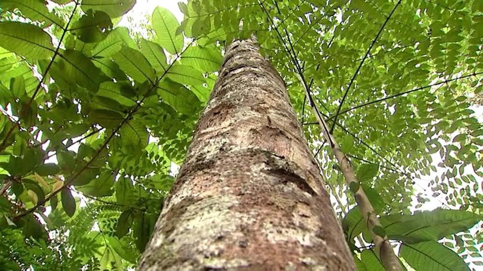 Pau Rosa quase foi extinto por causa da extração descontrolada no Amazonas — Foto: Reprodução