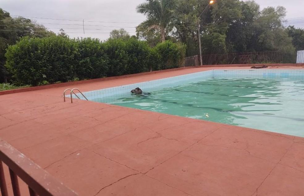 Funcionários de clube acionaram socorro para resgatar anta que caiu em piscina, em Maracaju (MS). — Foto: Polícia Militar Ambiental/Divulgação