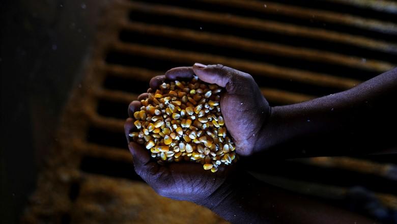 Grãos de milho segunda safra colhidos em Sorriso, no Mato Grosso (Foto: REUTERS/Nacho Doce)