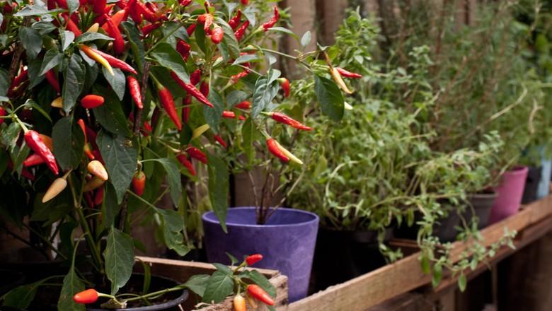 8 temperos para plantar em casa globo rural cidades verdes - Cultivar plantas aromaticas en casa ...