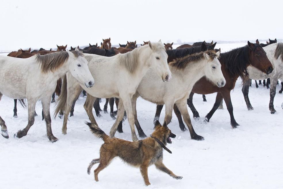 Cachorro interage com cavalos nas montanhas de Kayseri, na Turquia — Foto: Sercan Kucuksahin/Anadolu Agency via AFP/Arquivo