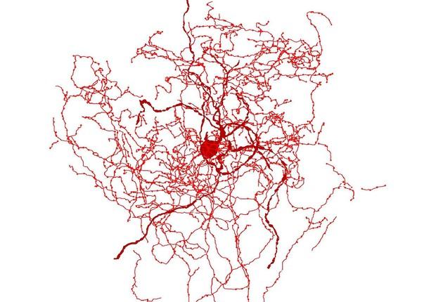 O neurônio rosa mosqueta só foi identificado até agora em seres humanos (Foto: Universidade de Szeged & Tamas Lab)