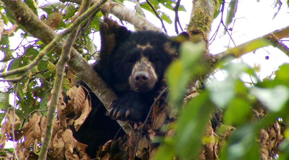 Os ursos hibernam? Fenômeno não é característica de todos eles